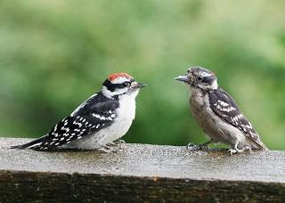 Woodpeckers- Nature's Carpenter