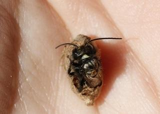 Backyard Pollinators (Blue Orchard Mason Bee and Alfalfa Leafcutter Bee)