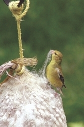 American Goldfinch Nesting Material