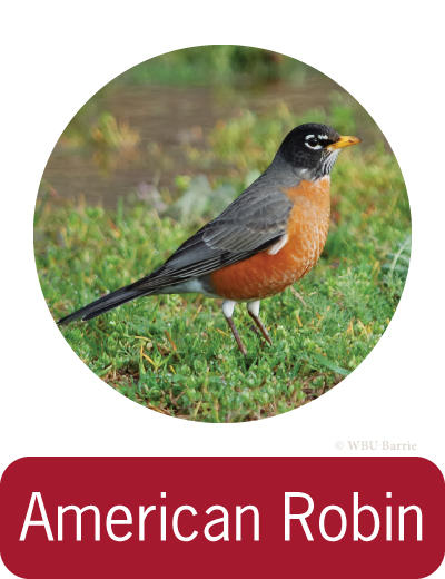 Attracting American Robins ©