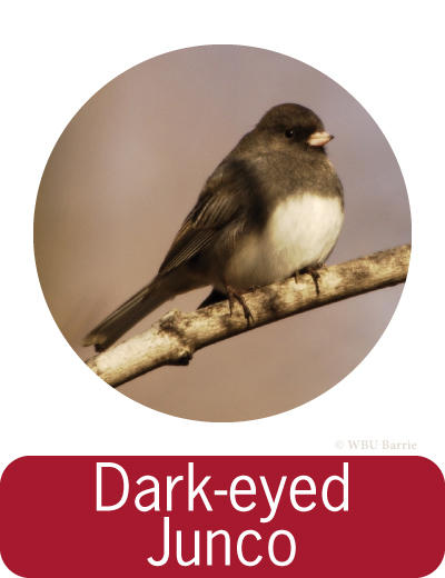 Attracting Dark-eyed Juncos ©