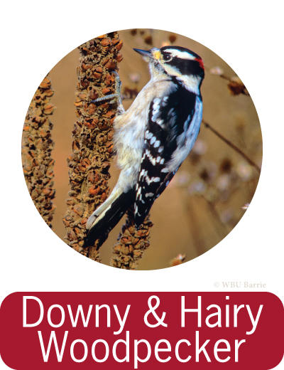 Attracting Downy and Hairy Woodpeckers ©