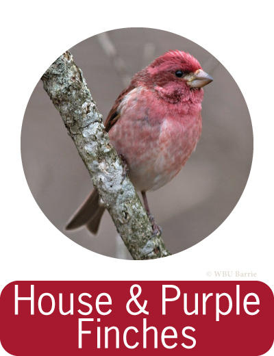 Attracting House and Purple Finches ©