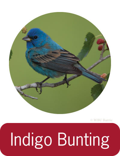 Attracting Indigo Buntings ©
