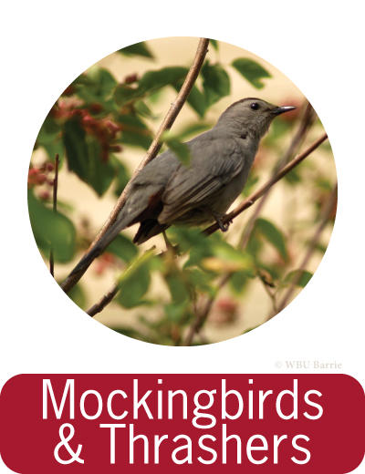Attracting Mockingbirds and Thrashers ©