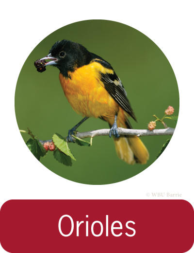 Attracting Orioles ©