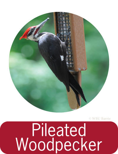 Attracting Pileated Woodpeckers ©