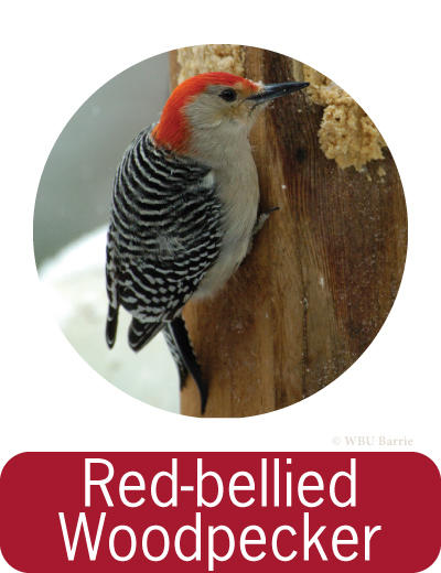 Attracting Red-bellied Woodpeckers ©