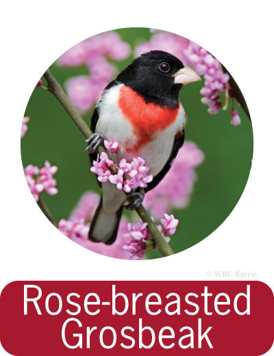 Attracting Rose-breasted Grosbeaks ©