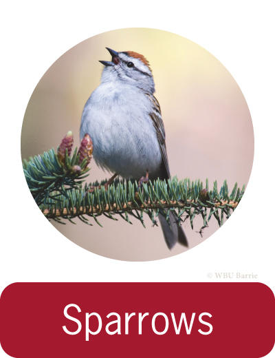 Attracting Sparrows ©