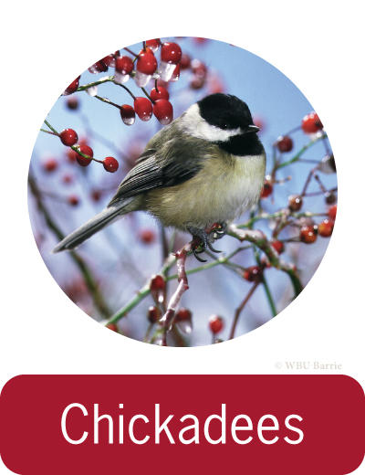 Attracting Chickadees ©