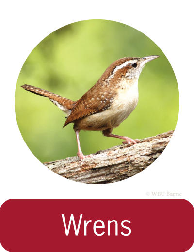 Attracting Wrens ©