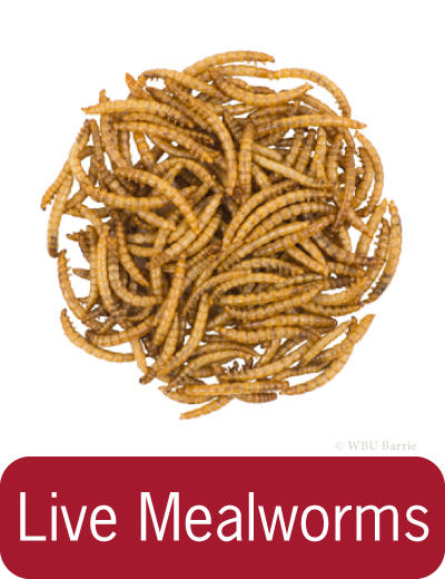 Button - Live Mealworms