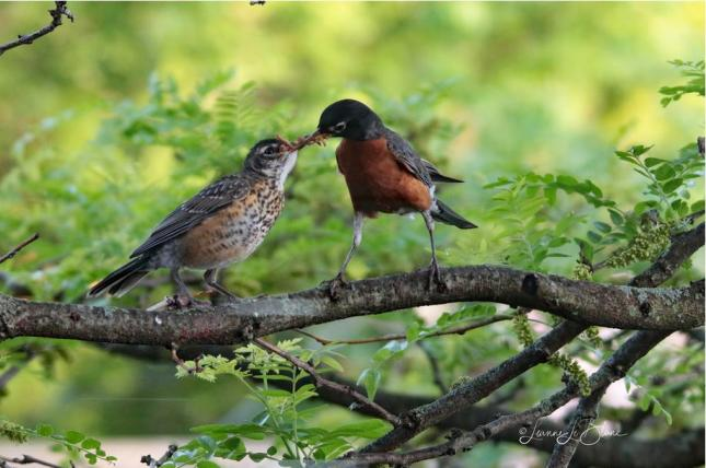 American Robin with Fledgling