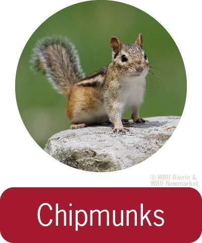 Problem Solving - Chipmunks