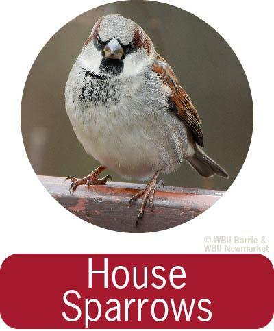 Problem Solving - House Sparrows