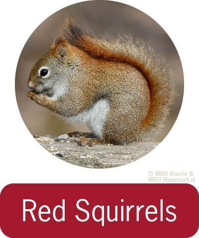 Problem Solving - Red Squirrels