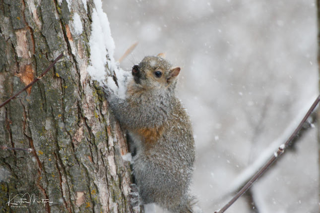 Eastern Gray Squirrel, Gray