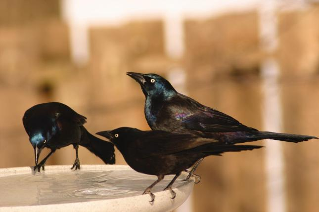 Common Grackles (Quiscalus quiscula)