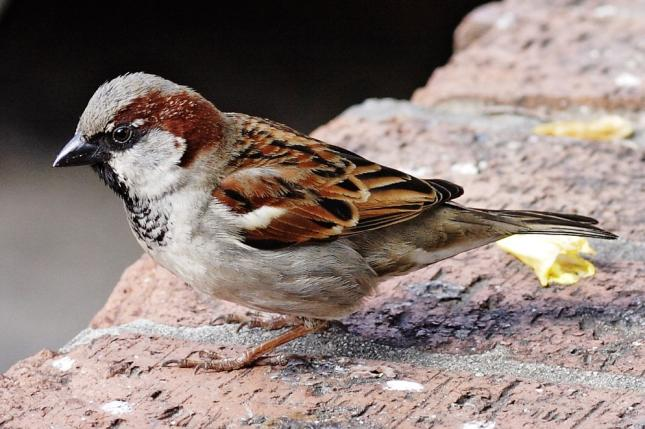 Male, House Sparrows (Passer domesticus)